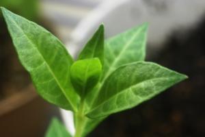 Lawsonia_inermis_Leaf_Detail